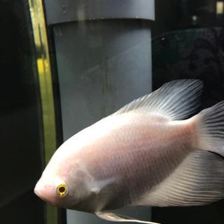 アルビノオスフロ 熱帯魚