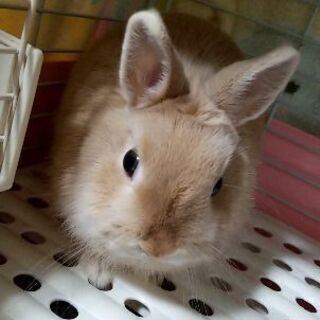 うさぎ ウサギ ネザーランド 8ヶ月、オス