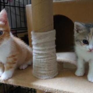 《2ヶ月になりました》ブリーダー猫、縮小のため格安放出