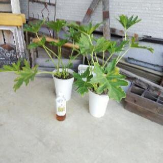 観葉植物 セローム 6 号2鉢で