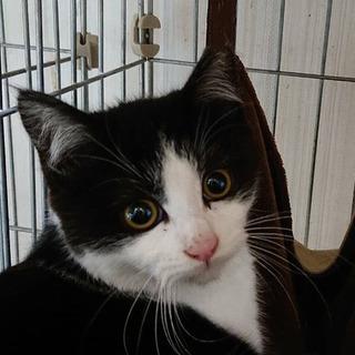 ハチワレ子猫 生後5ヶ月男の子