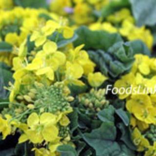 鉢植え🌼菜花
