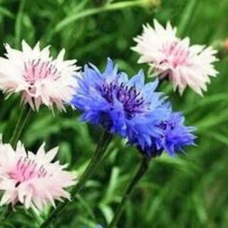 🏹矢車草の鉢植え