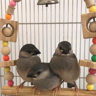 文鳥(2020.1.13生まれ)