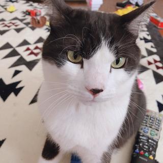 ハチワレ♂猫くん里親さん募集します🐱名前はのこちゃんです🐱