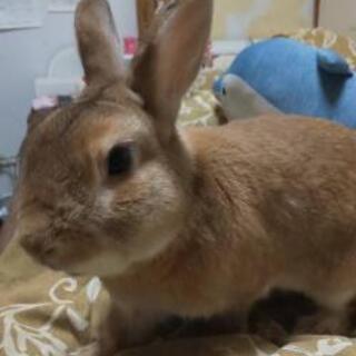 ミニウサギの男の子です