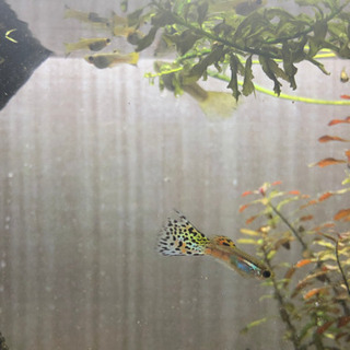 ガラスのグラスグッピー稚魚ペア