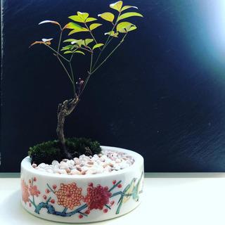 盆栽  ミニ盆栽  鉢植え  開運