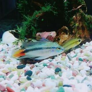 アピストグラマ エリスルラ稚魚3匹