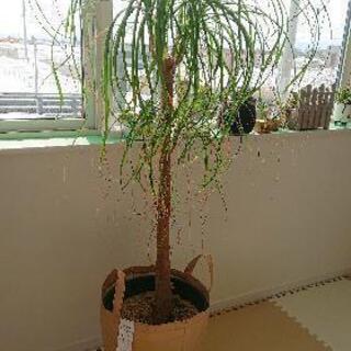 観葉植物 ポニーテール