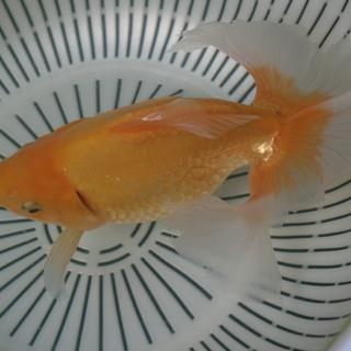 土佐錦魚・土佐錦(土佐金) 明け三歳雌 約20cm