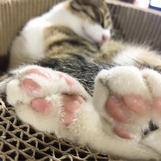 キジ猫ちゃん - 猫