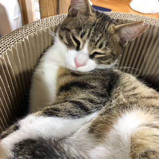 キジ猫ちゃん − 沖縄県