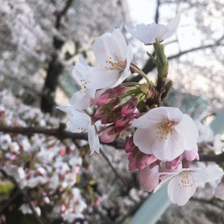 3/29(日)東京に美男美女大集合!お花見パーティー🌸の画像