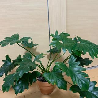 【観葉植物】セローム/交渉中…