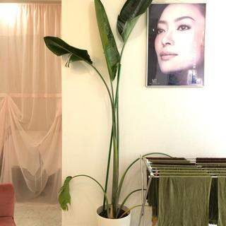 大きい観葉植物