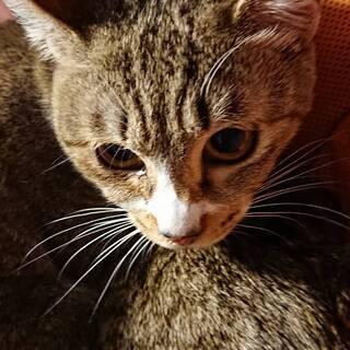 キジ猫 女の子(10ヶ月)