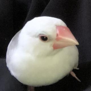 白文鳥(鳥のみ)をお譲りします