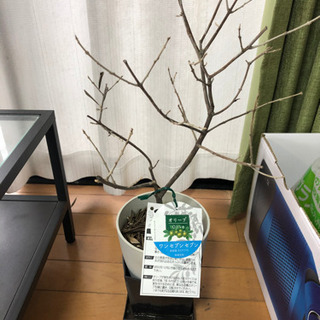 観葉植物 オリーブ
