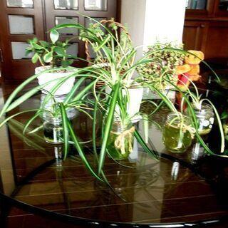【観葉植物】可愛い子株つきオリヅルラン(スパイダープランツ)