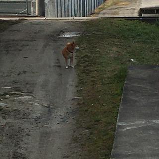迷い犬らしき芝犬を探している方居ませんか?伊賀市