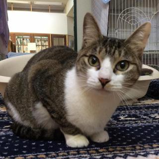 キジシロ美猫さん。活発な女の子です