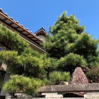 松の木 薪 松 0円