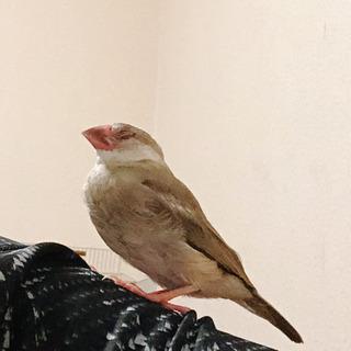 人懐っこい文鳥です!
