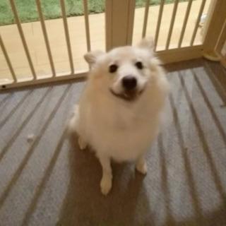 スピッツのミックス犬。男の子。2歳7ヶ月です。