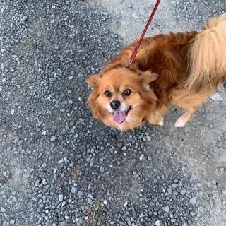 チワワミックス犬7歳 オス中型犬