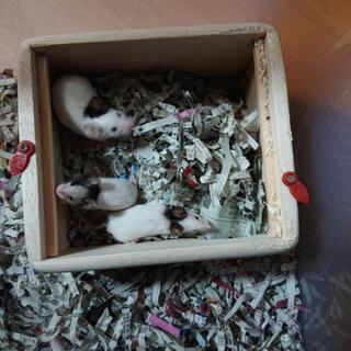 パンダマウス 生後1ヶ月 オス 2匹
