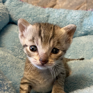 家猫で一番IQが高いエジプシャンマウ