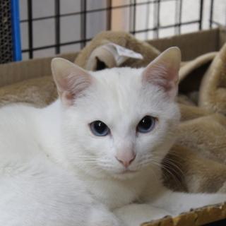 里親決定しました 真っ白美猫なロックくん 推定1歳半 人慣れ抜群...