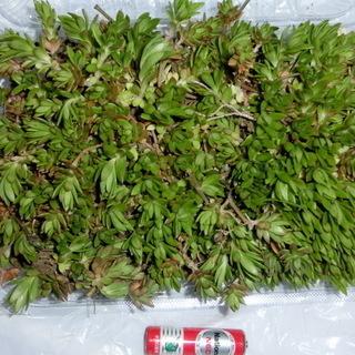 ⭐雑草対策にセダム大量約300グラムです。★単3電池比較(多少の...