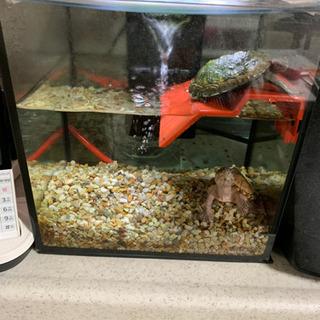 日本イシガメ カブトニオイガメ