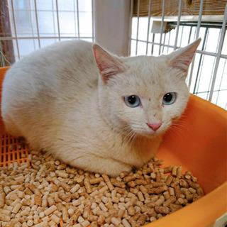 生後5.6ヶ月 白猫の女の子