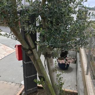 外構、エクステリア  オリーブの木 !