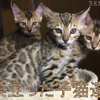 【ベンガル子猫】ペットショップへの卸値価格でお譲りいたします♪