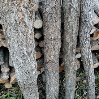 しいたけ栽培用にプロが伐採、葉枯らしさせたしいたけ用の原木…