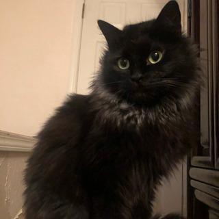 まだ若い黒猫長毛の女の子