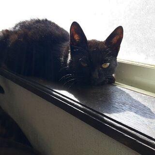 とっても大人な黒猫の女の子( 届出済、確認済みです。)写真は、全...
