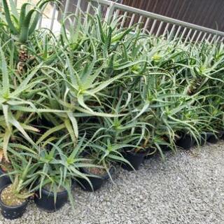 万能植物キダチアロエ