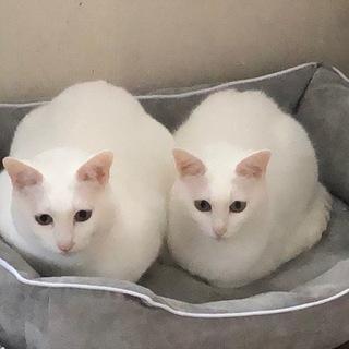 ケージから出してあげたい白猫ちゃん 里親さん募集
