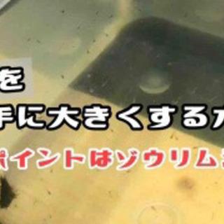 ☆早い者勝ち☆ ゾウリムシ 500ml
