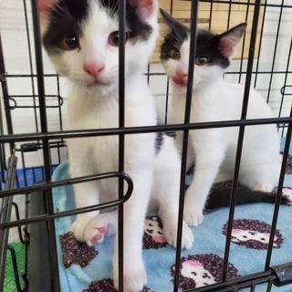 【譲渡契約完了です】生後2ヶ月のオス猫2匹(血を分けた兄弟です)