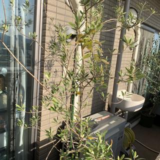 オリーブ 観葉植物 オリーブの木