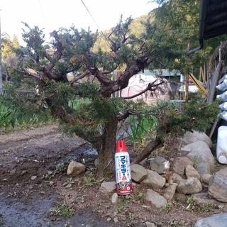 bonsai 杜松(トショウ)ネズ ネズミサシ 松 盆栽 現在地...
