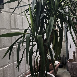 あげます。観葉植物(ユッカの種類だと思われます)