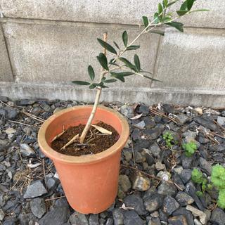 オリーブ鉢植え 4号鉢