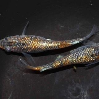 メダカ タナゴ ゲンゴロウ ドジョウ ナメクジ 水生昆虫 取扱ってます